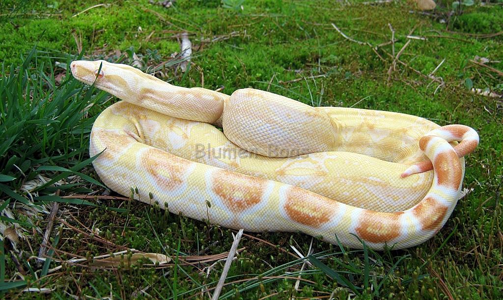 sharp albino boa constrictor