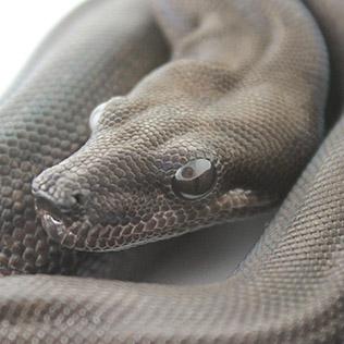 Welcome to Blumen Boas - Boa Constrictor Breeder