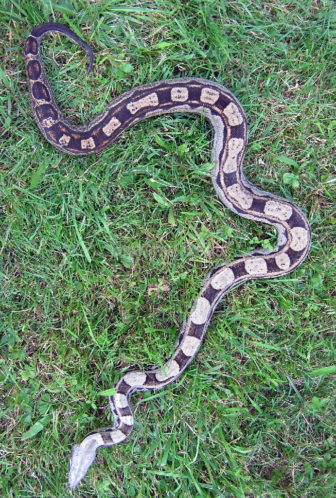 Boa Morphs - descriptions of various Boa Constrictor Morphs